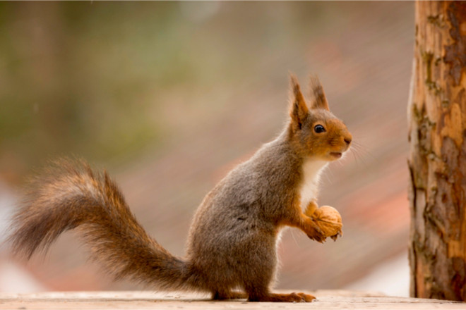 Eichhörnchen-Umzug