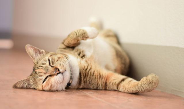 Gründe, Ihre Katze chippen zu lassen
